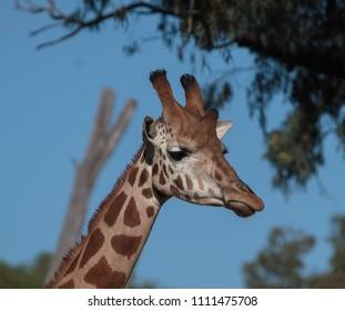 A head shot of a giraffe