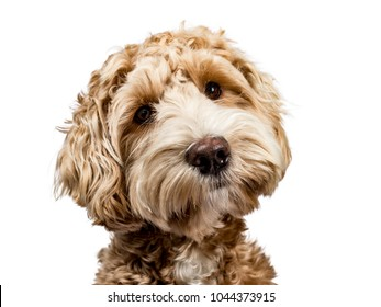 Head shot of golden Labradoodle with closed mouth, tilted head and looking straight at camera isolated on white background
