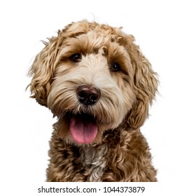 Head shot of golden Labradoodle with open mouth, looking straight at camera isolated on white background