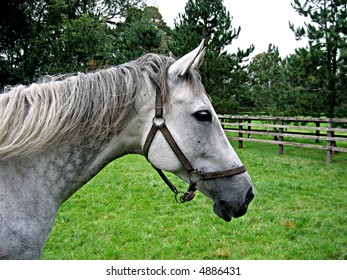 Head shot of a grey mare in a pasture at the Irish National Stud in County Kildare, Ireland