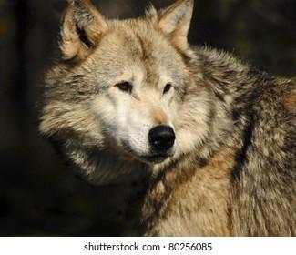 Head shot of grey wolf