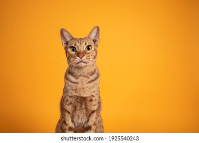Head shot of handsome adult male Ocicat cat, sitting up facing front. Looking  towards camera, with mouth open screaming. Isolated on a solid orange yellow background. - Shutterstock ID 1925540243