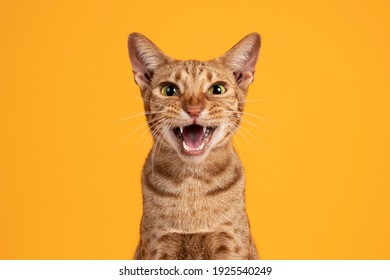 Head shot of handsome adult male Ocicat cat, sitting up facing front. Looking  towards camera, with mouth open screaming. Isolated on a solid orange yellow background. - Shutterstock ID 1925540249