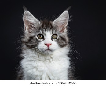 Head shot of Handsome black tabby with white Maine Coon cat kitten sitting straight up facing camera isolated on black background