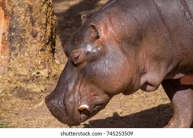 Head shot of a hippopotamus
