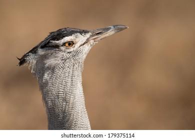 Head shot of Kori Bustard (Ardeotis kori) in Serengeti, Tanzania.