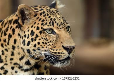 Head shot of a leopard (panthera pardus)