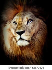 Head shot of lion