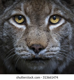 Head shot of a lynx looking straight in the camera