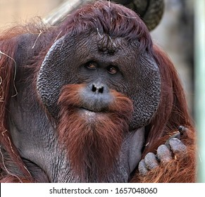 Head shot of a male orangutan.