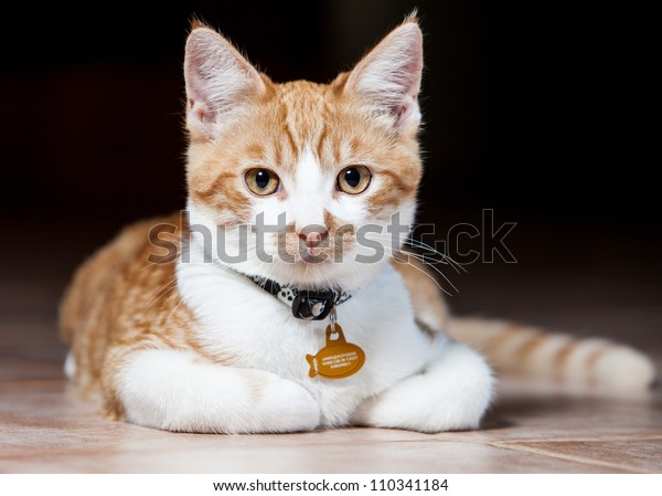 Head shot of a orange and white tabby cat with collar laying down looking straight at the camera