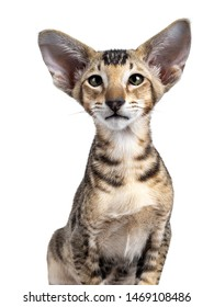 Head shot of Oriental Shorthair kitten. Looking beside camera with mesmerizing green eyes. Isolated on a white background.