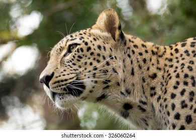 head shot of Persian leopard (Panthera pardus saxicolor), known as the Caucasian leopard