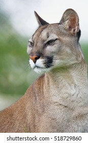 Head Shot Portrait of Beautiful Puma Felis Concolor