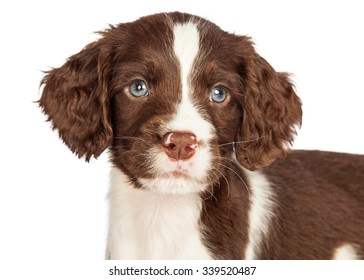 Head shot portrait of a cute seven week old English Springer Spaniel puppy dog