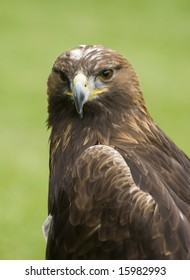 Head shot portrait of a golden eagle in the grass
