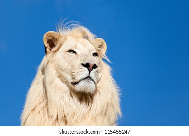 Head Shot Portrait of Majestic White Lion against Blue Sky Panthera Leo