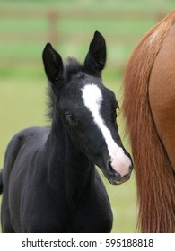 A head shot of a pretty black foal in a paddock with its mother.