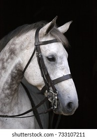 A head shot of a pretty grey horse in a double bridle.
