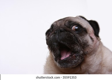 Head shot of a pug looking to one side with her mouth open.  Isolated on a white background.