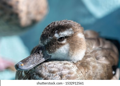 Head Shot Ringed Teal Duck Resting