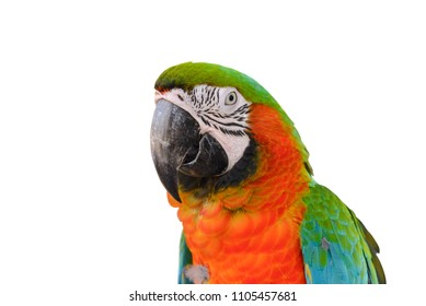 Head shot of Scarlet macaws (Ara macao) isolated on white background with clipping path