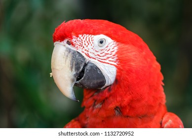 Head shot of Scarlet macaws (Ara macao) with blurred trees in the background
