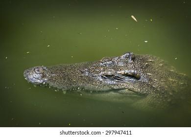 Head shot of siamese crocodile - Thailand