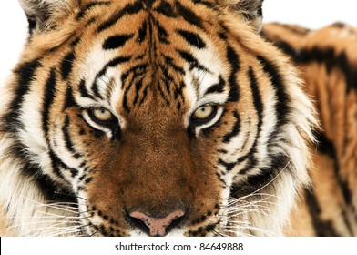 Head Shot of Siberian Tiger
