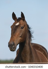 A head shot of a single horse against a blue sky.