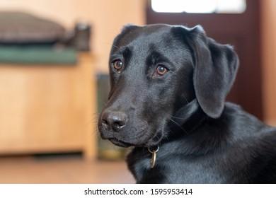 Head shot of a six month old pedigree black Labrador puppy