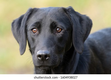 Head shot of a six month old pedigree black Labrador puppy outside in a field