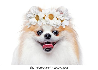 Head shot of spitz wearing flower head band