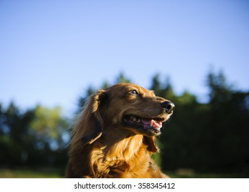 Head shot of Standard Dachshund in the park