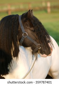 A head shot of a stunning Gypsy Cob