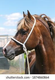 A head shot of a stunning Welsh Cob stallion in tradional halter.