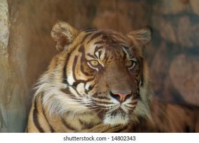 Head shot of Sumatran Tiger (panthera tigris sumatrae) looking at viewer