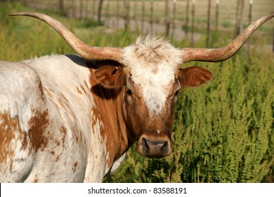 Head shot of Texas longhorn cow. Brown and white coat. Facing the camera