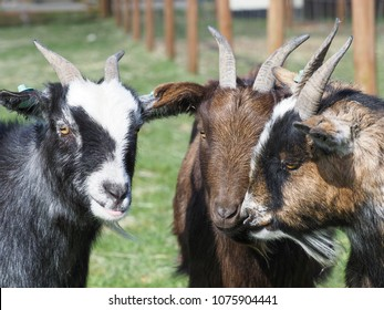 A head shot of three cute pigmy goats with horns.