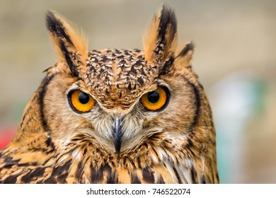 Head shot of Tufted ear owl with startling eyes and beak