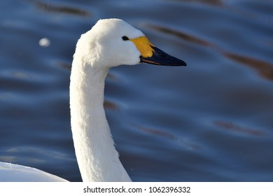 Head shot of a tundra swan (Cygnus columbianus) swimming in the water