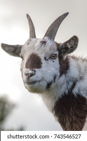 Head shot of a white and brown furred goat