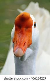 head shot of a white goose with a brilliant orange beak swimming