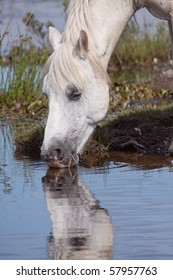A head shot of a white horse drinking water from a pond creating a reflection