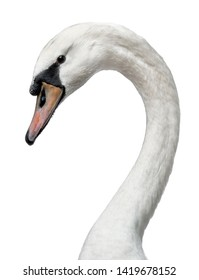 Head shot of young adult white swan, standing side ways. Head turned to the side. Neck in curve, having eye contact with camera. Isolated on white background.
