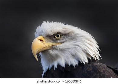 The head and shoulder of bald eagle, haliaeetus leucocephalus, on dark background. The American eagle, US national character, very beautiful bird with proud expression.