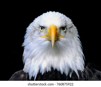 Head and shoulders of bald eagle facing straight forward