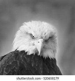 The head and shoulders of bald eagle, haliaeetus leucocephalus, on gray background. Side face portrait of an American eagle, US national character, very beautiful bird. Black and white image.
