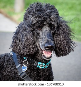 Head and shoulders of beautiful black standard poodle with decorative turquoise collar and black harness