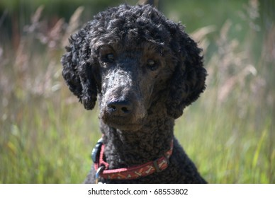Head and shoulders of black standard poodle